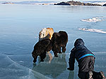 Chow-chow on the clear Baikal's ice