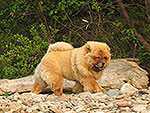 Chow-chow Dgulideil ELDORADO on Baikal Lake