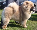 chow-chow Dgulideil Benefis