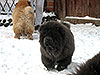 Chow-chow puppy in Dgulideil Kennel Russia